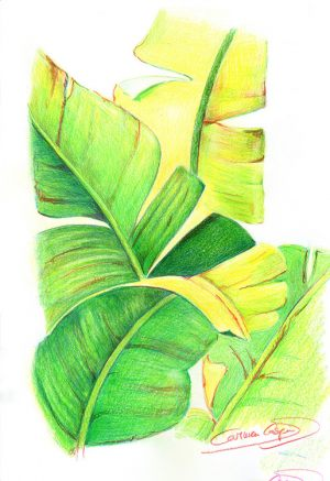 PLATANERA - Papel lápiz color - 21x30cm